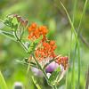 butterfly milkweed Asclepias tuberosa