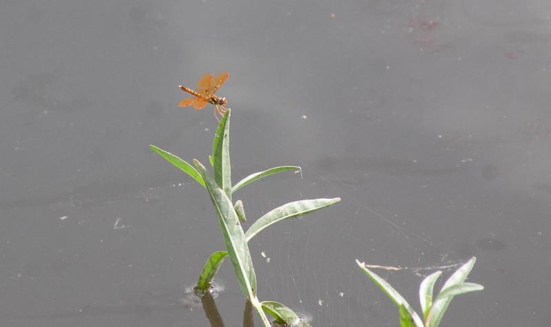 Eastern Amberwing Perithemis tenera