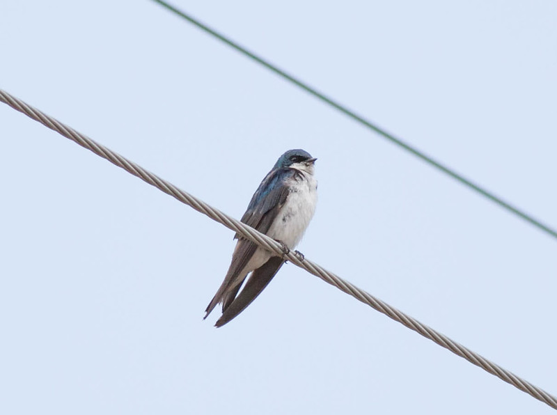 Tree Swallow Tachycineta bicolor