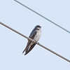 Tree Swallow Tachycineta bicolor