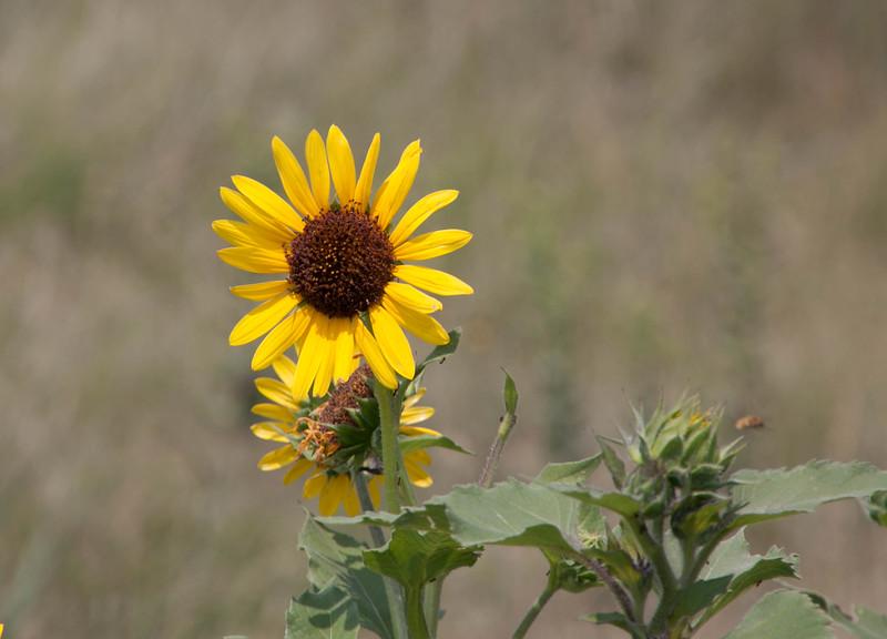 Common sunflower Helianthus annuus