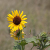 Common sunflower Helianthus annuus