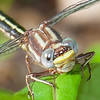 Oklahoma Clubtail  ( Gomphus oklahomensis )
