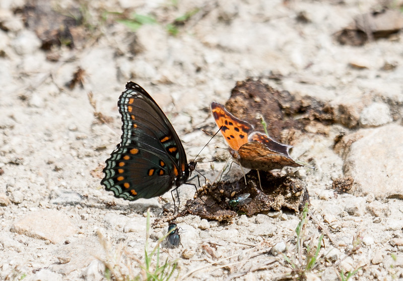 Red Spotted Purple and Question Mark