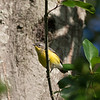 Female Magnolia Warbler