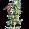 Hunt's Bumble Bee Bombus huntii