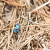 Blue Fronted Dancer   Argia apicalis