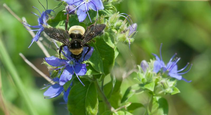 American Bumblebee (Bombus pensylvanicus)