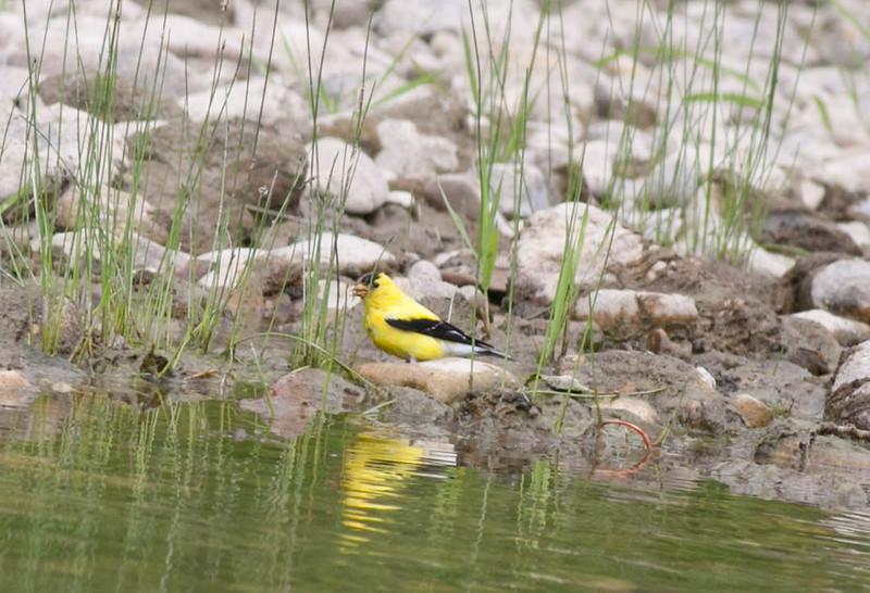 American Goldfinch Spinus tristis