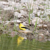 American Goldfinch Spinus tristis
