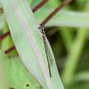 Fragile Forktail ( Ischnura posita )