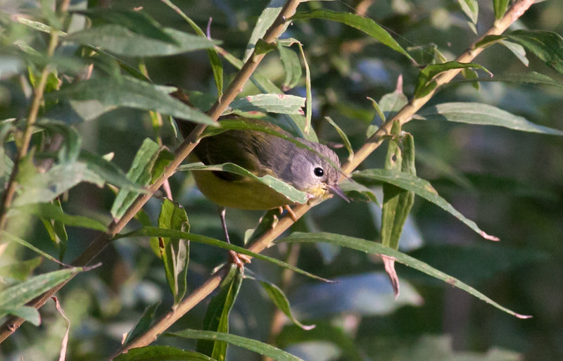 Immature Mourning Warbler
