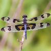 Banded Pennant Celithemis fasciata