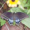 Spicebush Swallowtail Papilio troilus