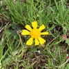 Bitterweed Helenium amarum