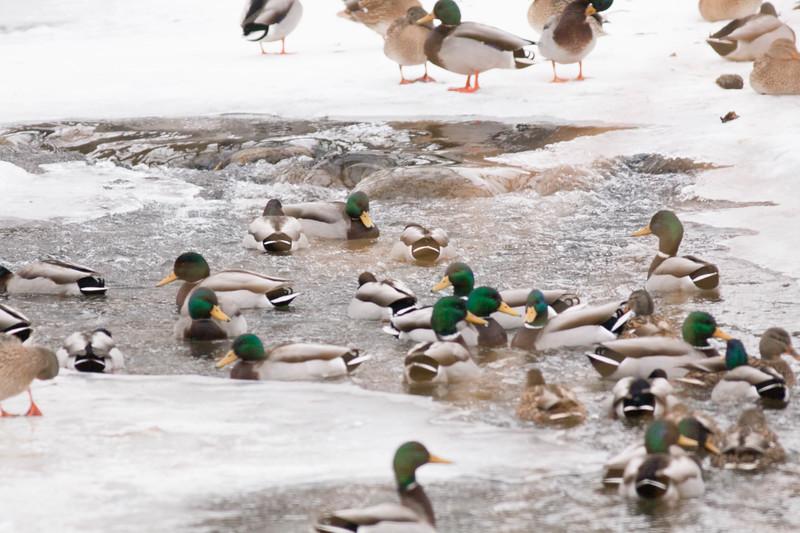Mallards in Frozen Creek    Sheridan, Wyoming