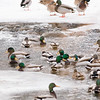 Mallards in Frozen Creek    Sheridan, Wyoming