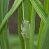 Green Tree Frog Hyla cinerea