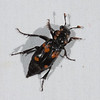 Carrion Beetle - Nicrophorus says    with Mites