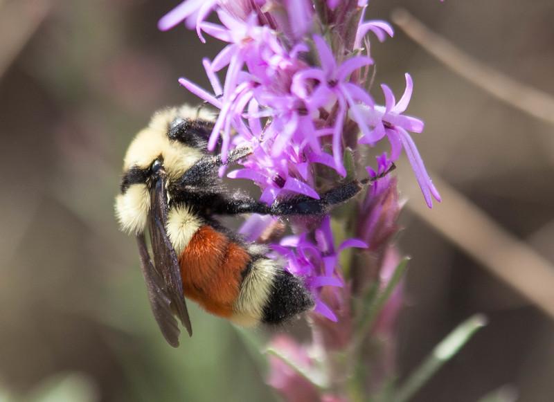 Tri-colored Bumble Bee Bombus ternarius