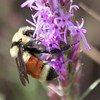 Tri-colored Bumble Bee Bombus ternarius