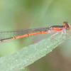 Citrine Forktail   Young Female