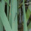 Western Forktail Ischnura perparva