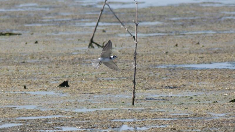 Non-breeding Black Tern