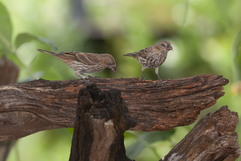 Female House Finches