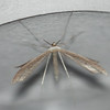 Morning-glory Plume Moth  ( Emmelina mfonodactyla )
