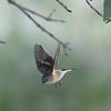 American Redstart Setophaga ruticilla