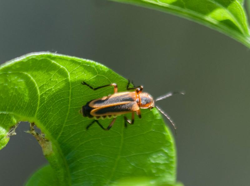 Common Eastern Firefly Photinus pyralis