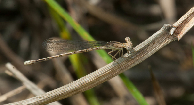 Variable Dancer Argia fumipennis