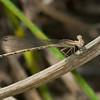 Variable Dancer Argia fumipennis