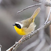 Common Yellowthroat     Sheridan, Wyoming