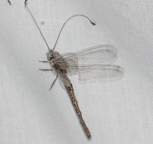 Owlflies  Family Ascalaphidae)
