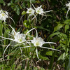 Woodland Spider Lily
