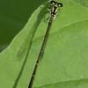 Fragile Forktail Ischnura posita
