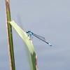 Skimming Bluet Enallagma geminatum