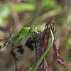 Eastern Pondhawk Erythemis simplicicollis  Feeding on Banded Pennant Celithemis fasciata