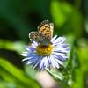 Mariposa Copper Lycaena mariposa
