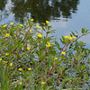 Floating primrose-willow Ludwigia peploides