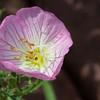 Pinkladies Oenothera speciosa