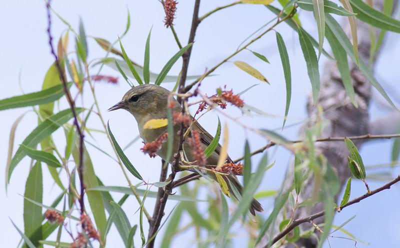 Tennesse Warbler