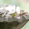 Blue Wing Warbler