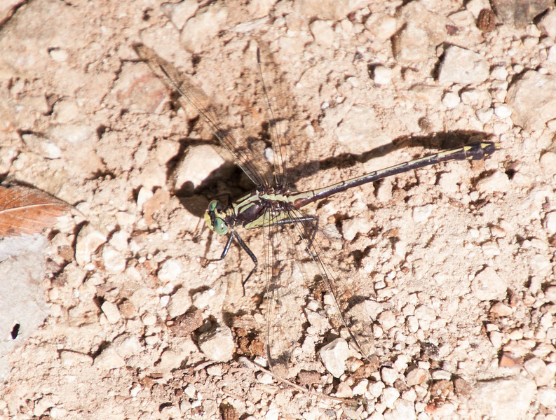 Black-shouldered Spinyleg Dromogomphus spinosus