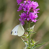 Cabbage White Pieris rapae