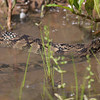 Diamond Backed Watersnake