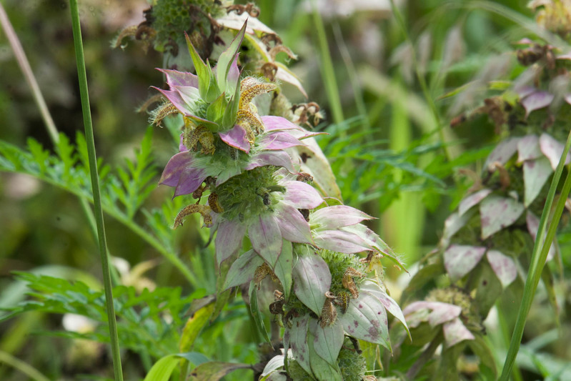 Spotted Horse Mint Monarda punctata