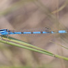 Familiar Bluet Enallagma civile